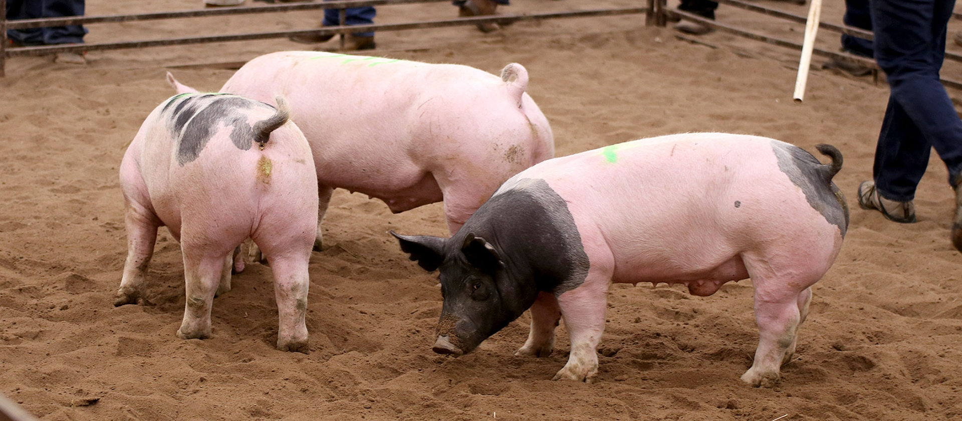 three pigs in a pen.