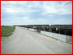 Waiting to be Fed cattle in a feedyard