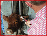 Ear Tagging calf