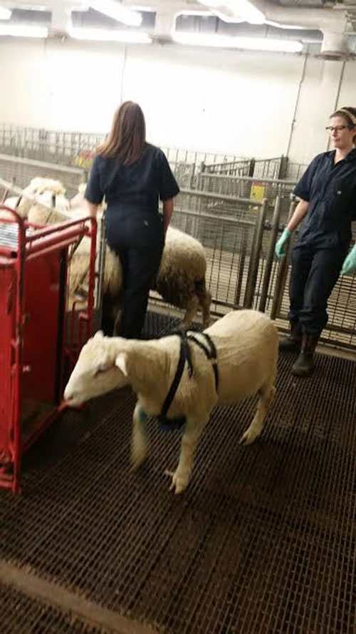 Even the sheep get weighed