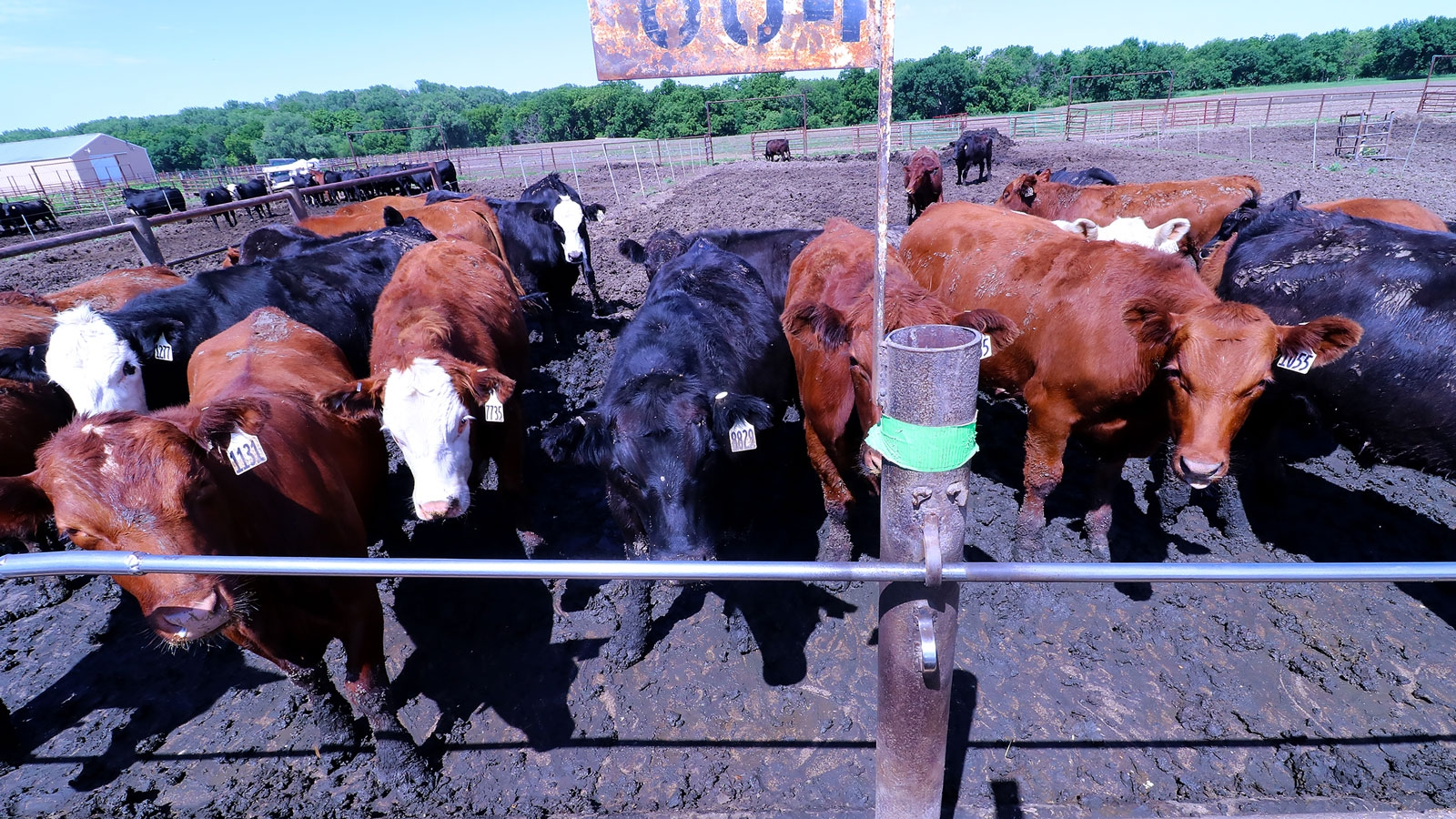 A herd of cattle in a pen