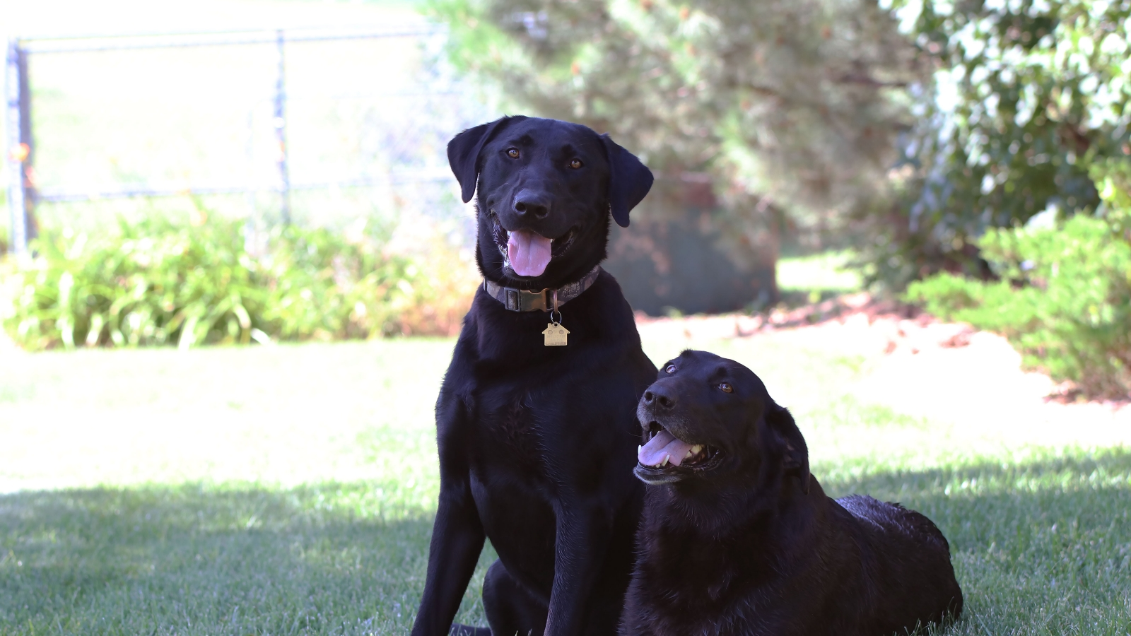 Two black dog laying down in the grass in the shade, panting.