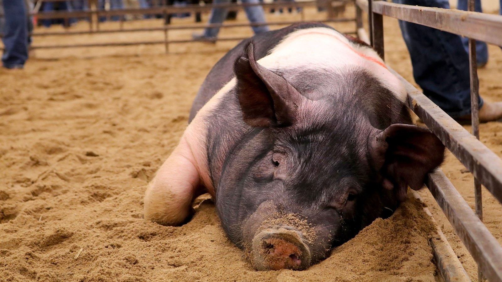 Pig laying down in sand